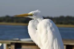 Close up do grande Egret branco Imagem de Stock Royalty Free