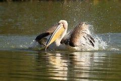 Close up do grande pelicano que espirra a água Foto de Stock