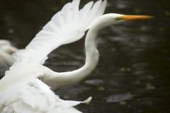 Close up do grande voo com as asas extendidas, ` s Ev do egret de Florida Fotos de Stock Royalty Free