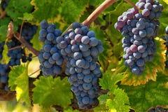 Close up do grupo da uva vermelha Imagem de Stock