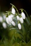Close-up do grupo de Snowdrops Foto de Stock