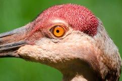 Close up do guindaste de Sandhill Imagens de Stock Royalty Free