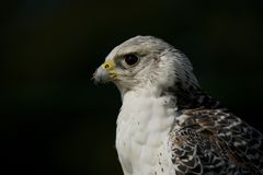 Close-up do gyrfalcon com alimento no bico Foto de Stock Royalty Free