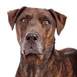 Close-up do híbrido do cão de Plott imagens de stock royalty free