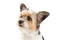 Close up do híbrido do yorkshire terrier e do ShihTzu fotografia de stock royalty free