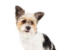 Close up do híbrido do yorkshire terrier e do ShihTzu imagem de stock