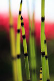 Close up do Horsetail Foto de Stock Royalty Free