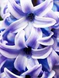 Close up do Hyacinth Fotos de Stock