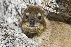 Close-up do hyrax do cabo Fotografia de Stock