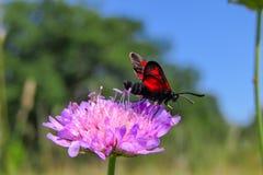 Close up do inseto do zygaena que senta-se na escabiosa de campo imagens de stock