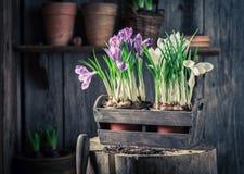 Close up do jacinto colorido em uma caixa de madeira velha Fotos de Stock