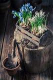 Close up do jacinto colorido novo em uma caixa de madeira velha Foto de Stock Royalty Free