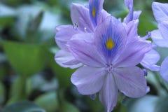 Close up do jacinto de água na flor Imagem de Stock