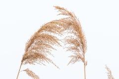 Close up do junco do panicle no fundo do branco do inverno imagem de stock royalty free