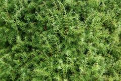 Close-up do juniperus Imagem de Stock Royalty Free