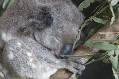 Close up do Koala Imagens de Stock Royalty Free