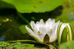 Close up do lírio de água branca Imagem de Stock
