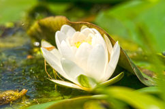 Close up do lírio de água branca Imagem de Stock Royalty Free