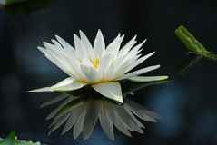 Close up do lírio de água branca disparado com reflexão Foto de Stock Royalty Free