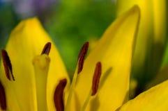 Close up do lírio do amarelo da flor do núcleo Fotografia de Stock