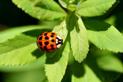 Close-up do Ladybug Fotos de Stock