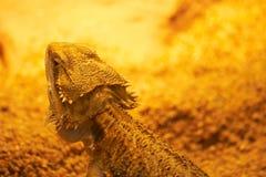 Close-up do lagarto Fotografia de Stock