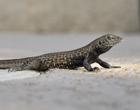 Close-up do lagarto Foto de Stock Royalty Free