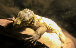Close up do lagarto Foto de Stock Royalty Free