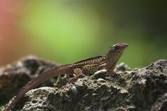 Close up do lagarto Imagem de Stock
