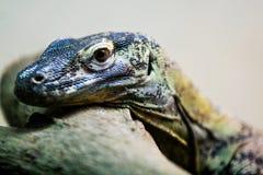 Close-up do lagarto de monitor Imagens de Stock