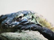 Close-up do lagarto de monitor Fotos de Stock