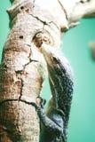 Close-up do lagarto de monitor Fotografia de Stock