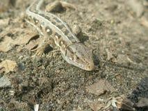 Close-up do lagarto do focinho Fotos de Stock