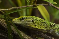 Close up do lagarto verde fotografia de stock