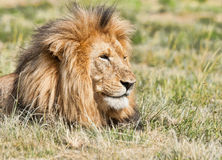 Close up do leão Imagens de Stock