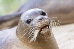 Close up do leão de mar, comendo peixes fotografia de stock