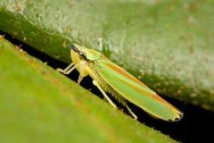 Close up do leafhopper Fotos de Stock