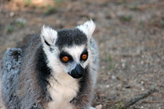 Close-up do Lemur Ring-tailed Imagem de Stock Royalty Free