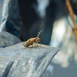 Close up do lenhador do besouro Fotos de Stock