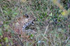 Close up do leopardo fotos de stock