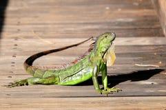 Close up do levantamento da iguana Imagens de Stock