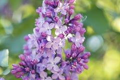 Close-up do lilás comum Imagem de Stock Royalty Free