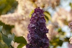 Close up do lilás roxo de florescência bonito sob o céu azul Fotos de Stock