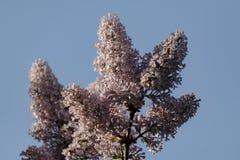 Close up do lilás roxo de florescência bonito sob o céu azul Imagem de Stock Royalty Free