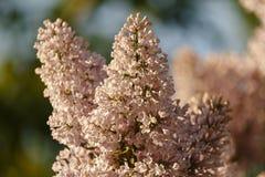 Close up do lilás roxo de florescência bonito sob o céu azul Fotos de Stock Royalty Free