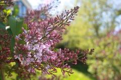 Close up do Lilac Flor da mola Flores lilás no fundo verde fotos de stock royalty free