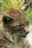 Close-up do lince imagens de stock