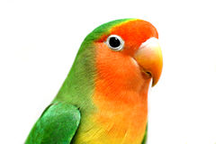 Close-up do Lovebird Fotos de Stock Royalty Free