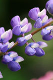 Close up do lupine bonito Fotos de Stock Royalty Free