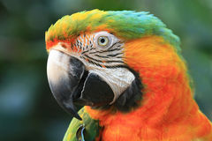Close-up do Macaw Fotos de Stock Royalty Free